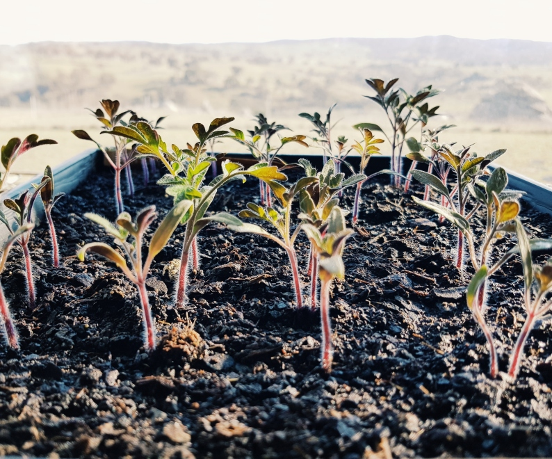 Tomato seedlings with a view