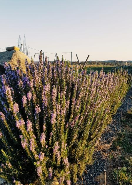 Rosemary sans bees, a rare thing