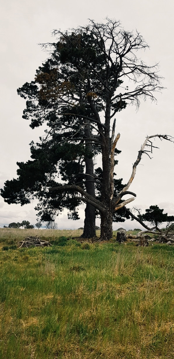 Old tree after decades of wind