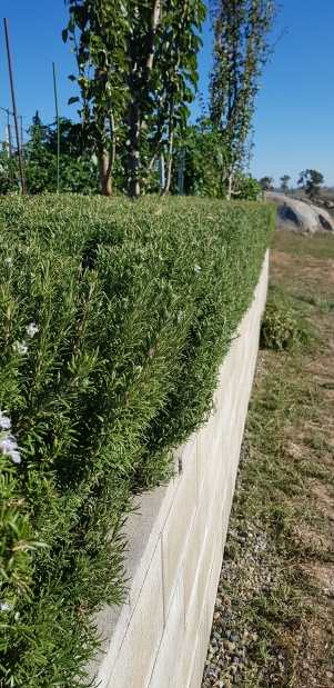 rosemary hedge done