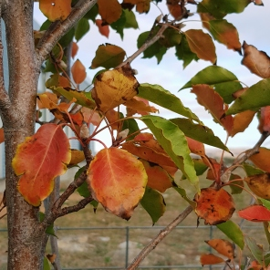 pear leaves turning