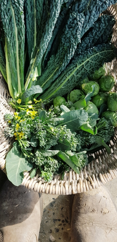 brassica crop, those brussel sprouts!