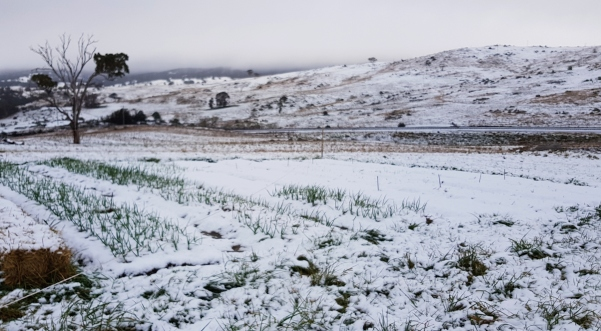 the garlic patch in snow