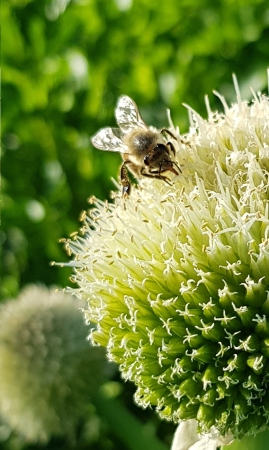 bee glued to the spring onion flower